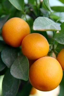 Edita Kaye oranges growing on an orange tree